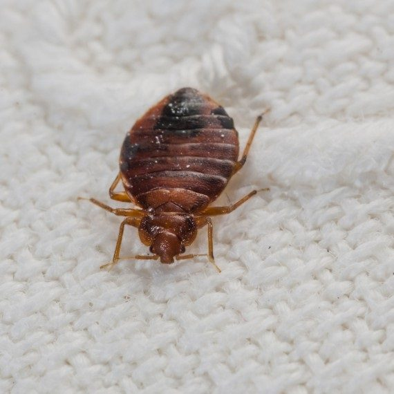 Bed Bugs, Pest Control in West Brompton, World's End, SW10. Call Now! 020 8166 9746