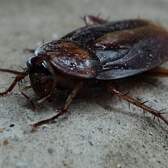 Cockroaches, Pest Control in West Brompton, World's End, SW10. Call Now! 020 8166 9746