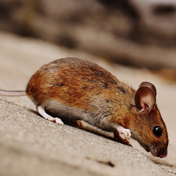 Mice, Pest Control in West Brompton, World's End, SW10. Call Now! 020 8166 9746