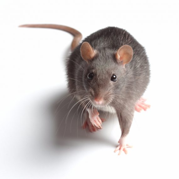 Rats, Pest Control in West Brompton, World's End, SW10. Call Now! 020 8166 9746
