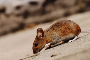 Mice Exterminator, Pest Control in West Brompton, World's End, SW10. Call Now 020 8166 9746