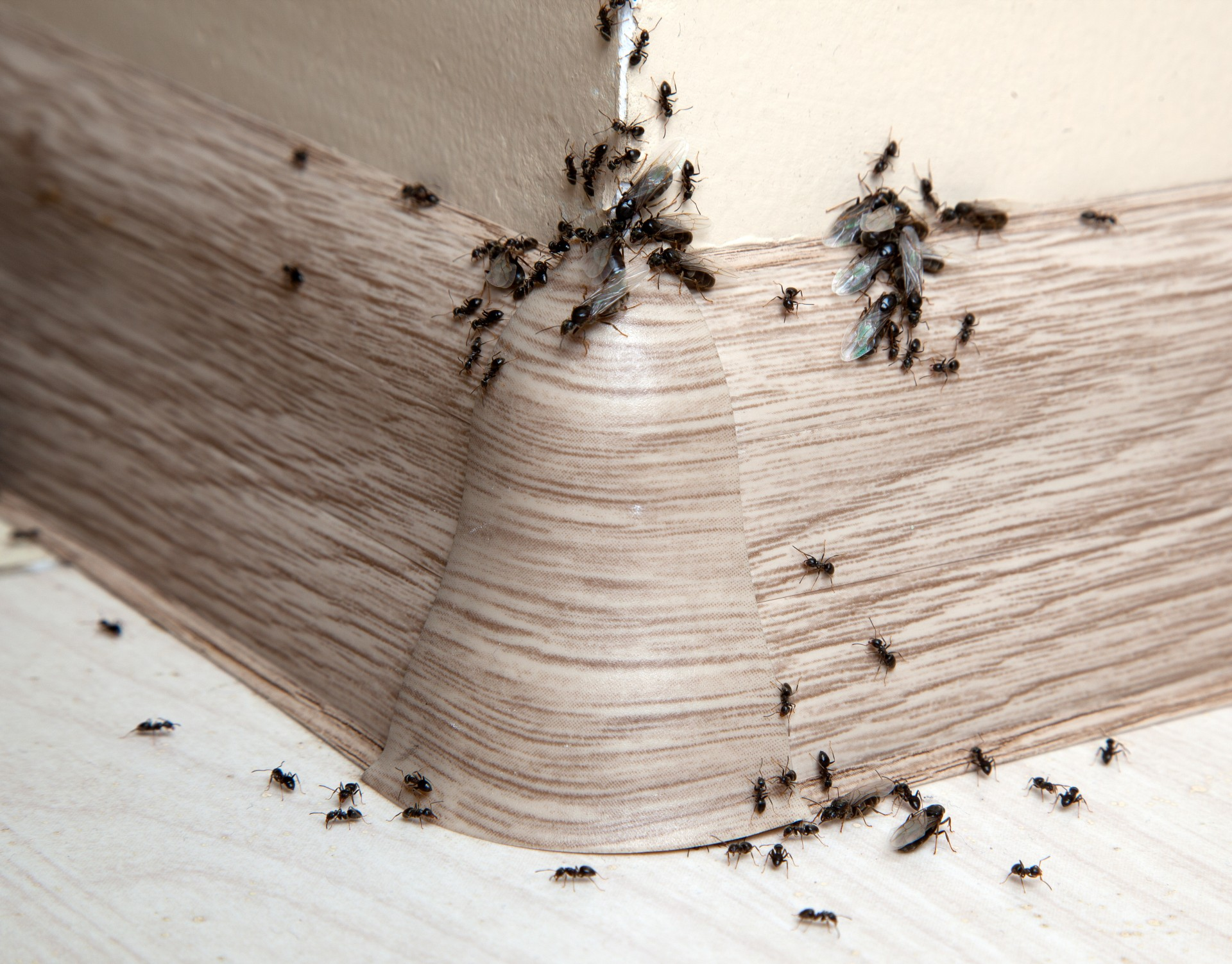 Ant Infestation, Pest Control in West Brompton, World's End, SW10. Call Now 020 8166 9746