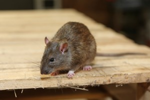 Rodent Control, Pest Control in West Brompton, World's End, SW10. Call Now 020 8166 9746