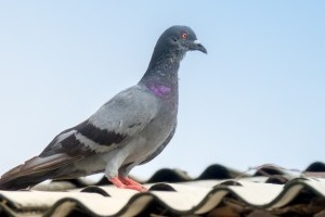 Pigeon Control, Pest Control in West Brompton, World's End, SW10. Call Now 020 8166 9746